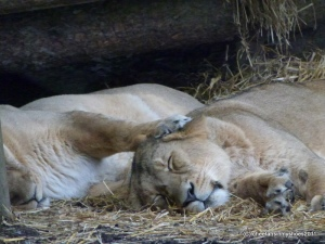 Sleeping Lions (the ideal way to start 2012)
