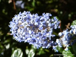 Our ceanothus is looking amazing and smells gorgeous